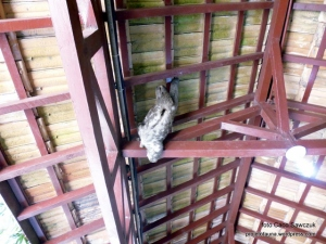 (Bradypus variegatus) - preguiça de 3 dedos - por Caco Sawczuk